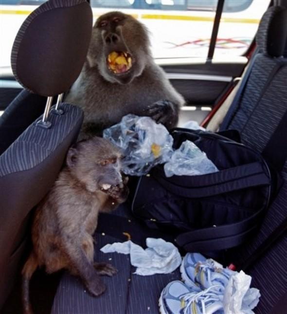 A baboon picnic.