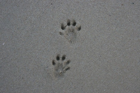 Otter prints.