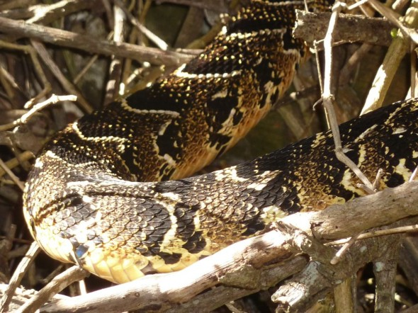 A deadly poisonous puff adder.