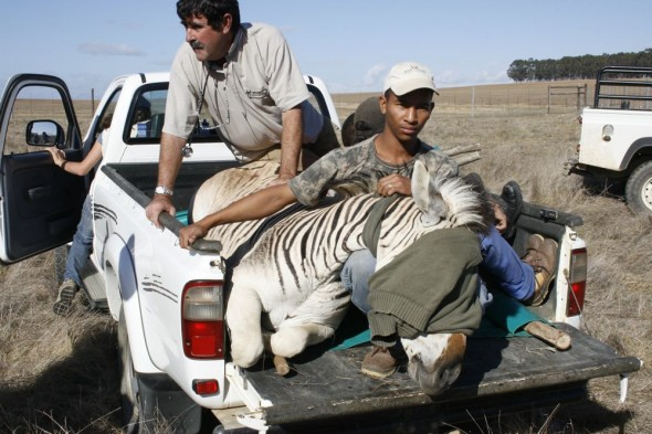 First Quagga captured successfully.