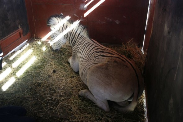 Sedated Quagga safe in truck ready for transport.