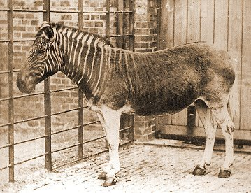 London Zoo Quagga Mare circa 1870 by Frederick York & Frank Haes.