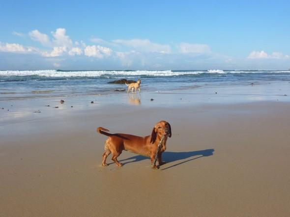 Dainty Daisy the dachshund.