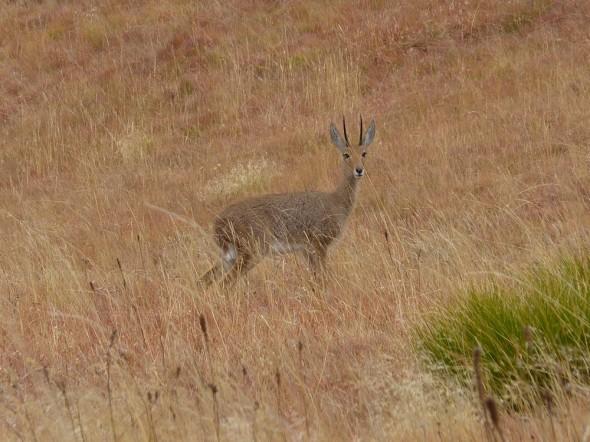 Mountain Reedbuck (we think). (Sehlabathebe National Park, Lesotho)
