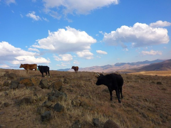 In yonder field there stand some coos, they must have gone because their no there noo. Lesotho.