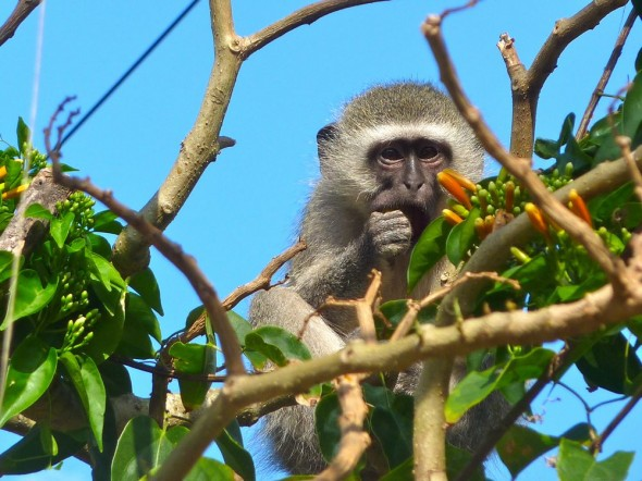 Circus acts against a cloudless sky. Vervet monkeys in Durban.