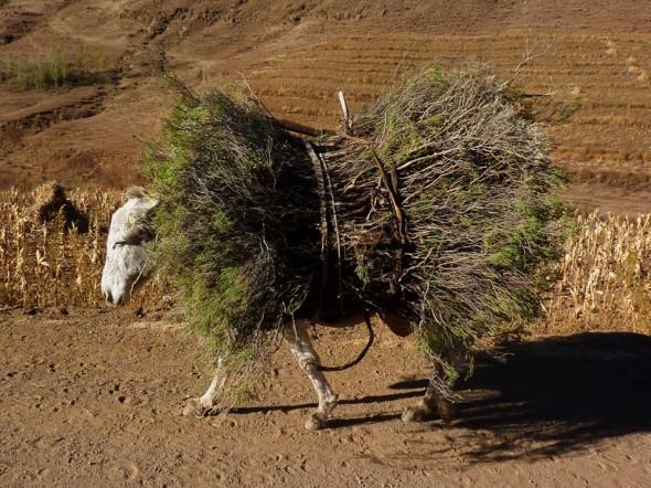 Haystack on hooves, Lesotho.