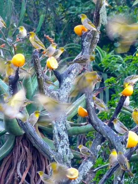 Weaver birds feasting on orange halves and gossiping at Reilley's Rock. Mlilwane Wildlife Sanctuary, Swaziland.