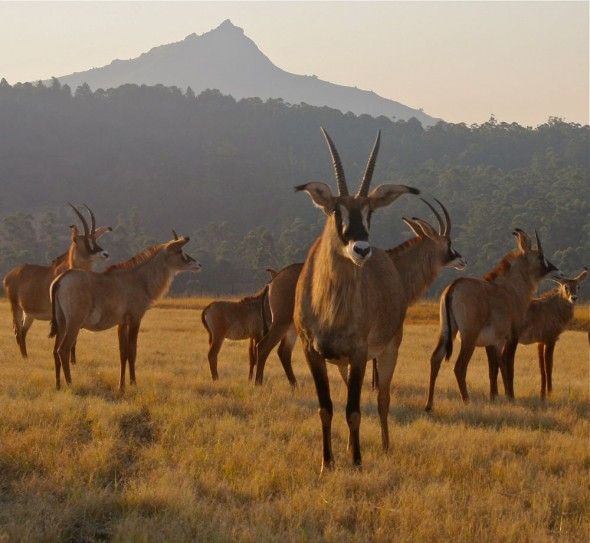 A hunky unrelated specimen with his healthy herd! Mlilwane Wildlife Sanctuary, Swaziland.