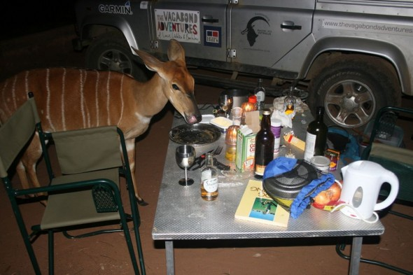 """Lip smakin goood,"" thought the nyala ""but what a messy table!"". Mlilwane Wildlife Sanctuary, Swaziland."