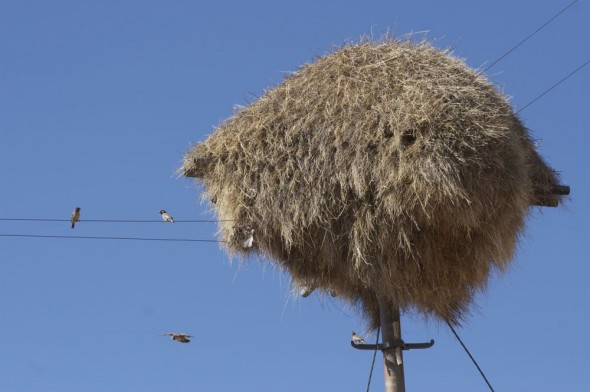 Communal weaver nests on power line poles scattered along highway. South Africa / Namibia.