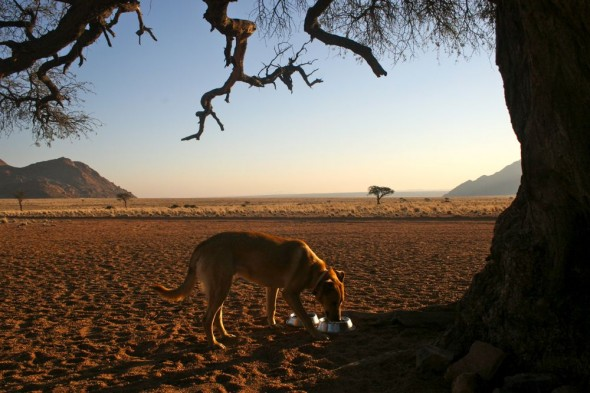 Bow Wow drinking out of his bowl in Namtib Reserve, Namibia.