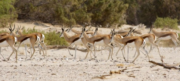 Wild Springbok on the Hoarusib dry river bed, near Purros, Kaokoland, Namibia.