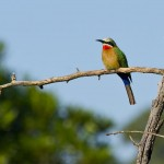 That's me, Beatrice the White-Fronted Bee-Eater. Mlilwane Wildlife Sanctuary, Swaziland.