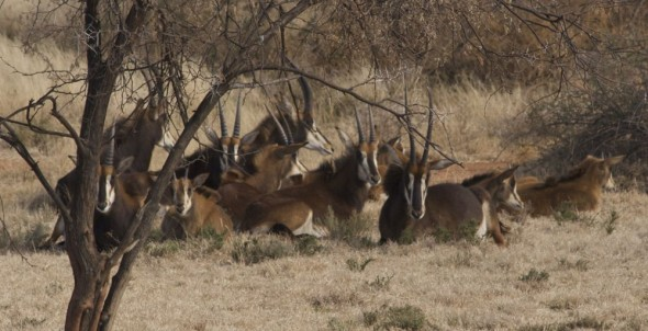 Herd of Sable antelope relaxing in the bushveld. Kimberley, South Africa.