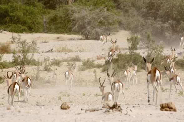 Wild Springbok running from us on the Hoarusib dry river bed, near Purros, Kaokoland, Namibia.