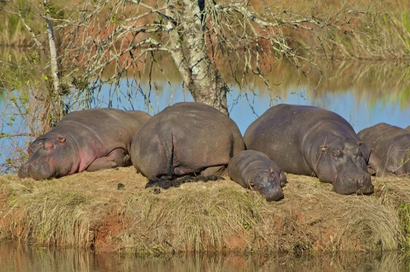 Sunbaking hippopotamus family on Mlilwane's mirror lake. Mlilwane Wildlife Sanctuary, Swaziland.