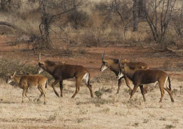 Herd of Sable antelope. Kimberley, South Africa.