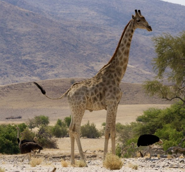A wild giraffe on the Hoarusib dry river bed, near Purros, Kaokoland, Namibia.