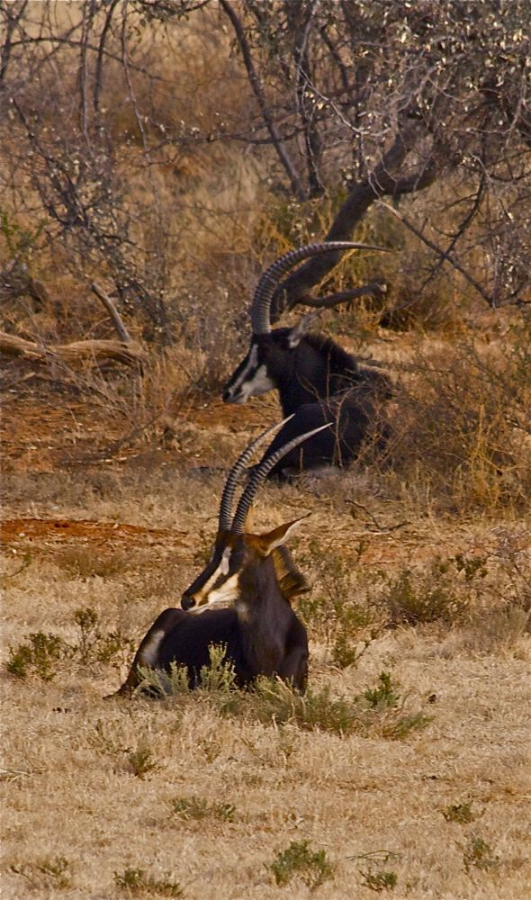 Two Sable antelope relaxing in the long grass. Kimberley, South Africa.