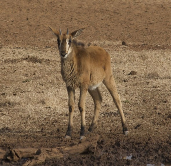 Sable antelope calf. Kimberley, South Africa.
