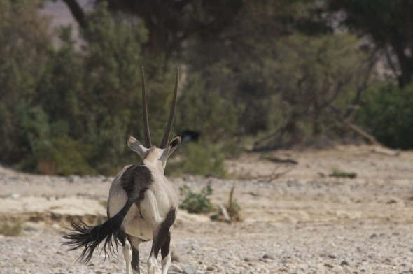 A wild gemsbok running away from us on the Hoarusib dry river bed, near Purros, Kaokoland, Namibia.