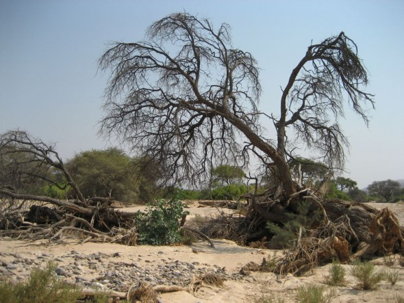 Trees and shrubs on a dry river bed near Purros, Kaokoland, Namibia.