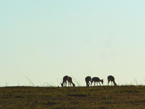 Bambis grazing unthreatened on the horizon. Mlilwane Wildlife Sanctuary, Swaziland.