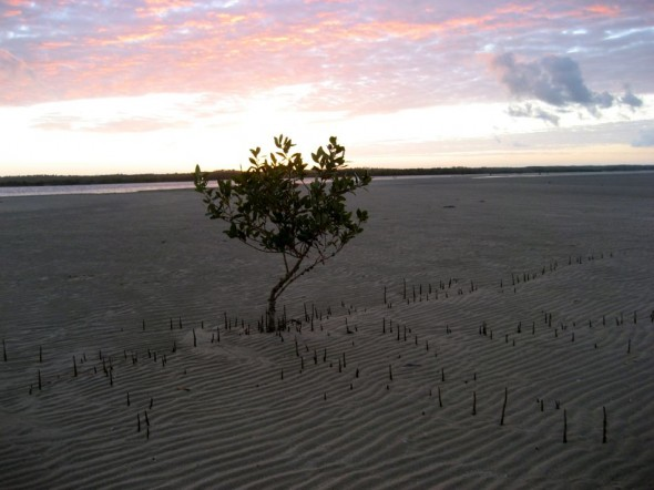 Mangroves have special roots which stick up out of the soil like straws for breathing. Pomene, Mozambique.