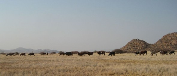 A Himba herd of cows near Purros, Kaokoland, Namibia.