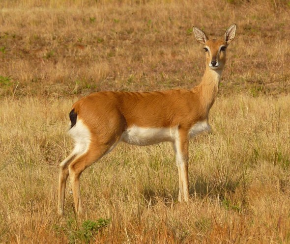 An oribi, one of Southern Africa's most threatened species thriving at Mlilwane. Mlilwane Wildlife Sanctuary, Swaziland.