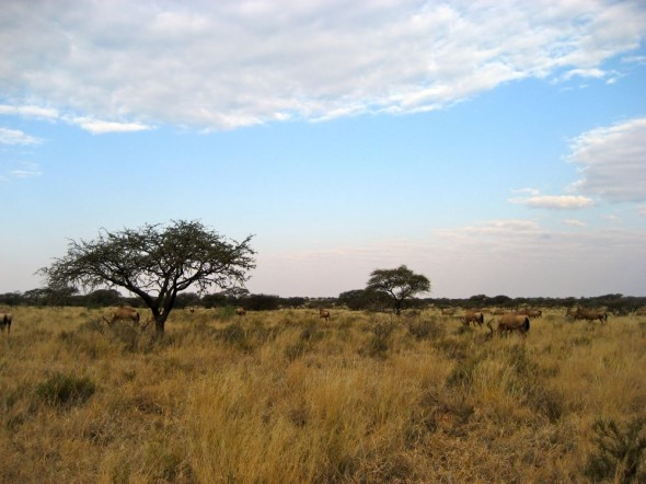 The reintroduced herd roam free at Mokala National Park alongside wild African animals that include rhino, wildebeest and buffalo. Pictured are tsessebe antelopes grazing nearby. Kimberley, South Africa.