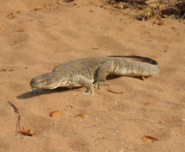A large monitor-lizard just past a Himba settlement called Orupembe on the bed of a dry nameless stream. Kaokoland, Namibia.