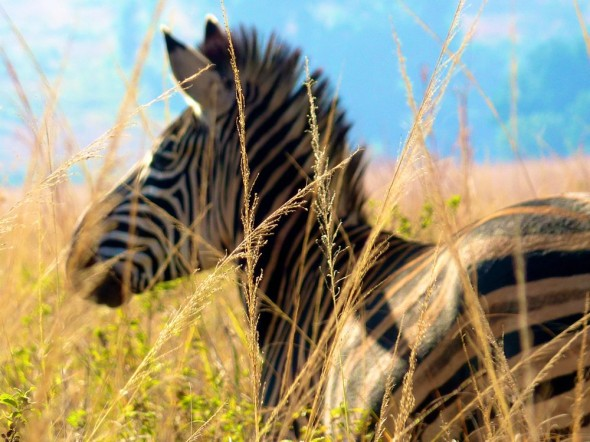 For zebras, stripes and mohawks are always this season. Mlilwane Wildlife Sanctuary, Swaziland.