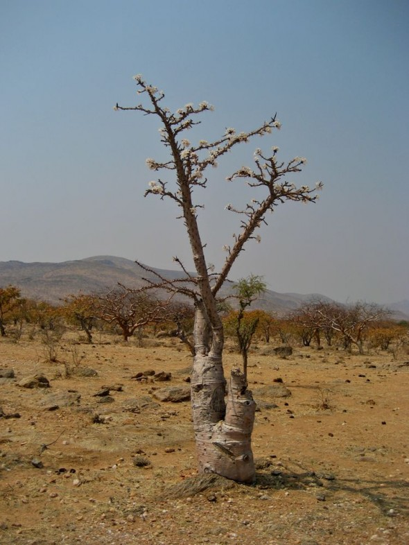 A Moringa tree just past a Himba settlement called Orupembe on the bed of a dry nameless stream. Kaokoland, Namibia.