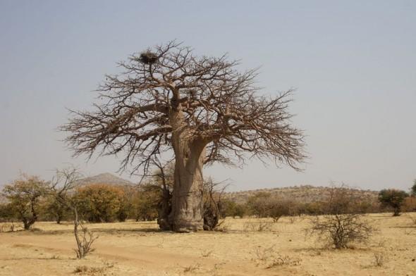 A large baobab near Mount Okamanga. Kaokoland, Namibia.