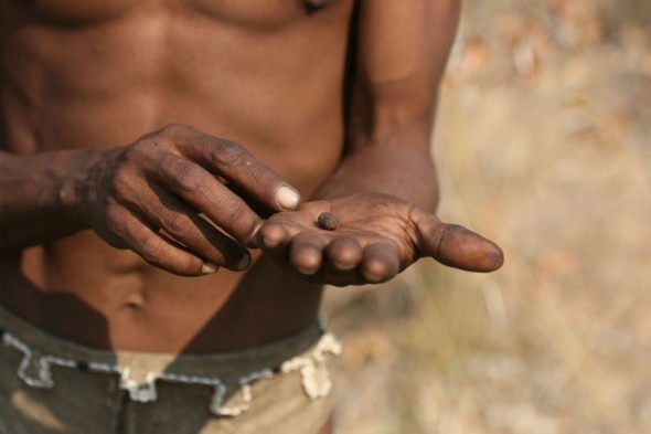 Bushman showing poisonous beetle larvae. Ju/'hanse San people, or as they are more commonly known, the Bushmen, near Tsumkwe, eastern Namibia.