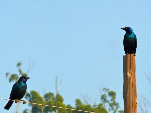 Two quarrelsome glossy starlings. Mlilwane Wildlife Sanctuary, Swaziland.