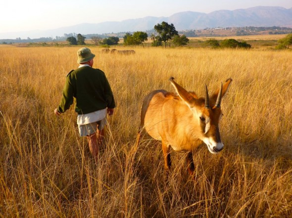 Ted Reilley and Tsandsiwe searching for baby Roan Antelopes hiding in the long grass. Mlilwane Wildlife Sanctuary, Swaziland.