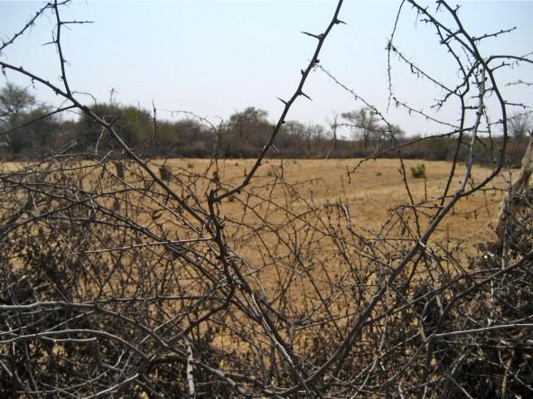 The edge of the Himba pen for keeping livestock made from Acacia thorn bushes, Kaokoland, Namibia.
