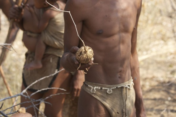 Bushman showing bush potato. Ju/'hanse San people, or as they are more commonly known, the Bushmen, near Tsumkwe, eastern Namibia.
