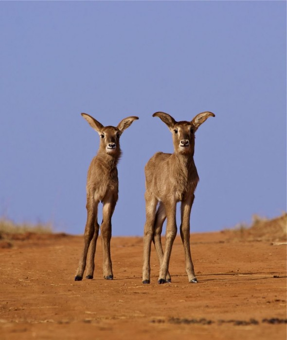 Baby Roan Antelopes - new beginnings with a bright future. Mlilwane Wildlife Sanctuary, Swaziland.