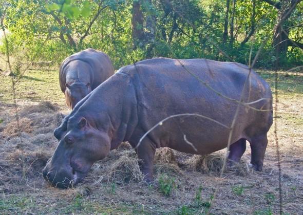 Hippos feeding by Mlilwane's restaurant, Hippo Haunt. Mlilwane Wildlife Sanctuary, Swaziland.