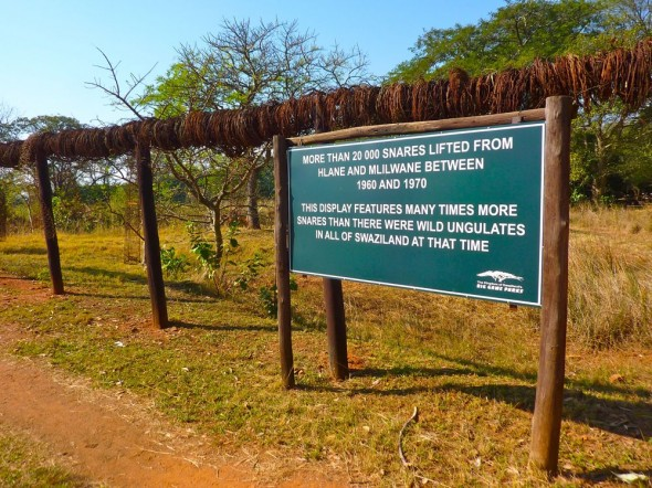 Over 20,000 rusting, murderous snares, laid by poachers to trap animals, hang at the entrance of Mlilwane as a reminder of the threat to Swaziland's wildlife.