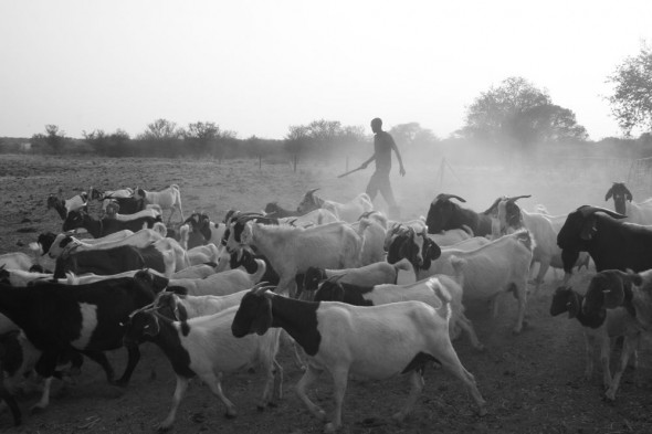 Goat flock returning to their stable for the day lead by their shepherd. Grootfontein, Namibia.