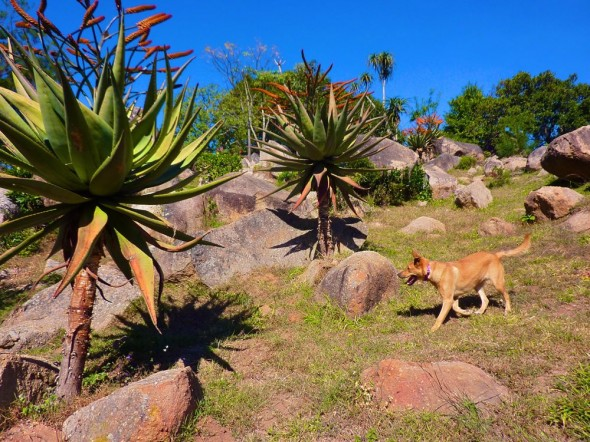Bow Wow at groovy Cathmar Cottages exploring by the aloes in Mbabane. Swaziland.