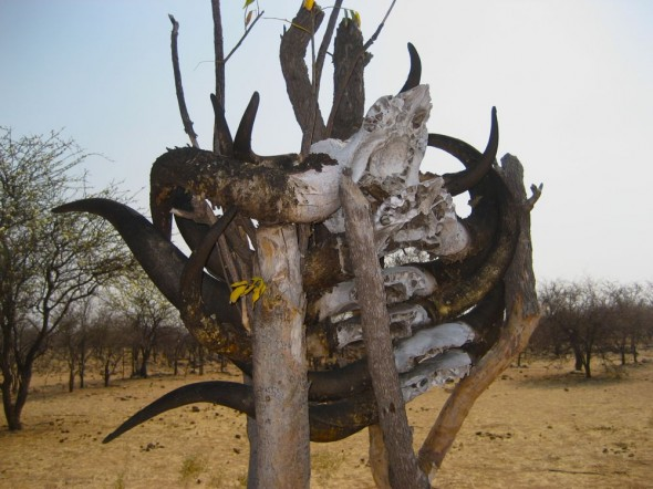 Ox skulls with horns in a tree at Himba grave site, Kaokoland, Namibia.