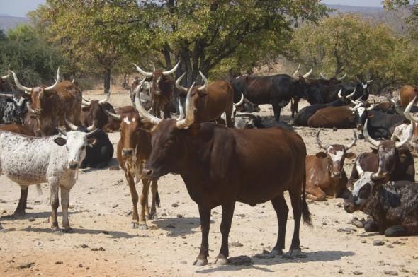 Himba herd of cows, Kaokoland, Namibia.