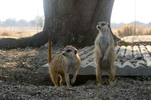 Mongoose at Kalkfontein farm, Grootfontein, Namibia.