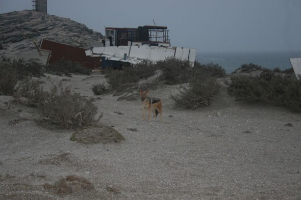 Jackal roaming around Dias Point, Lüderitz, Namibia.